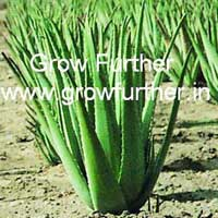 Organic Safed Musli Stevia Herbal Plant Medicinal Plants