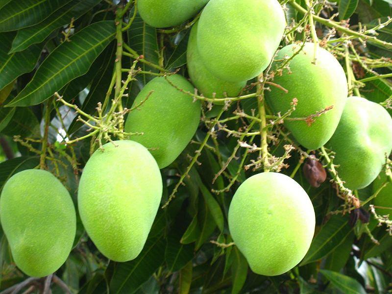 Images of Mango Plant Mango Plant