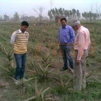 Unati Aloe Vera Field