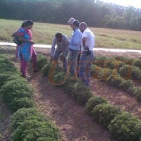 Herbs Cultivation Trials