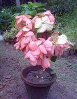 Musaenda Pink