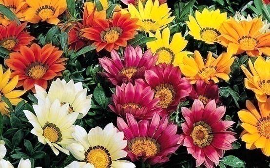 Seasonal flowering plants gazania plants marigold plants for Flowers that are in season