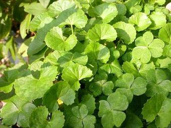 Medicinal Plants Wholesale Tulsi Plants Brahmi Plants Manufacturers