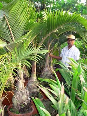 Champagne Palm Champagne Palm Tree Lush Champagne Palm