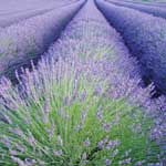Lavender Oil Manufacturer