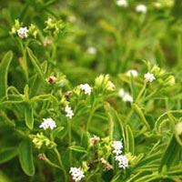 Herbal Stevia