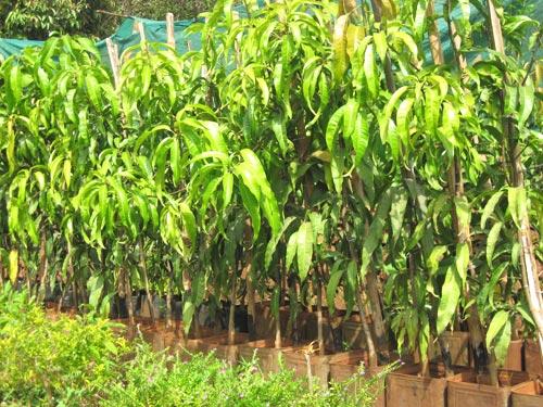 Images of Mango Plant Alphonso Mango Plants 04