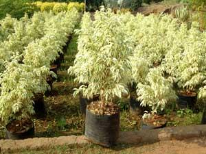 Ficus Starlight