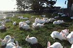 Angoora Rabbit Farm