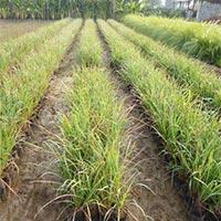 Fountation Grass
