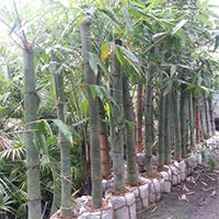 Joynt Bamboo