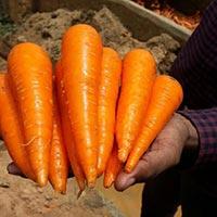Bangalore Carrots