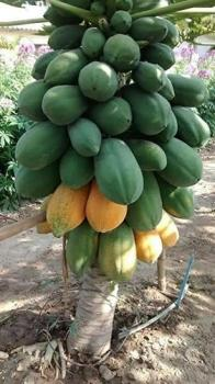 Papaya Plants